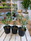 オリーブの木 3.5号ポット(苗) 3ポットお買い得セット販売 ピンチ物(枝ぶりを良くする処理) 品種違いでのお届け♪自分流のガーデニングに仕上げて下さい♪植え替え・寄せかご・寄せ植えなどに♪大きく育てて下さいネ♪【SOUJU/創樹】オリーブ 苗木