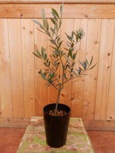 オリーブの木 チプレッシーノ 3.5号鉢植え A品 ピンチ物(枝ぶりを良くする処理)自分流のガーデニングに仕上げて下さい♪植え替え・寄せかご・寄せ植えなどに♪大きく育てて下さい