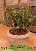 オリーブの木 アンティーク風テラコッタ陶器鉢植え 刈り込んで仕上げた枝ぶりの良い盆栽仕立て♪【楽ギフ_包装】【楽ギフ_メッセ入力】【送料無料】【SOUJU/創樹】『ポイント中』