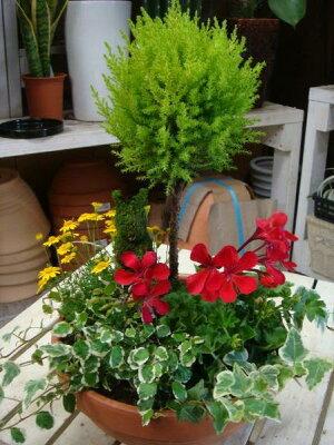コニファーゴールドクレスト・トピアリー(スタンド)仕立て♪テラコッタ陶器鉢♪季節の寄せ植え♪S-サイズ おまかせピック付き♪