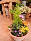 NEW!コニファーゴールドクレストテラコッタ陶器鉢植え♪季節のおまかせ寄せ植え♪おまかせピック付き♪テラコッタフラワーギフト楽ギフ_包装楽ギフ_メッセ入力送料無料ギフト特集鉢にもこだわりたいお客様に♪