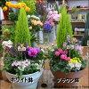 【楽ギフ_包装】【楽ギフ_メッセ入力】【送料無料】季節の寄せ植え♪コニファーゴールドクレストプラスチック製で軽量化♪鉢カラーをお選びください♪おまかせピック付き♪