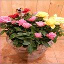 母の日予約対象商品【季節のお花 寄せ植え ギフト 送料無料】ミニバラのアソートミックス大株寄せ植え 鉢植えタイプ-2♪アンティーク風のテラコッタ♪シンプル仕上げで手間要らずです♪楽ギフ_包装 楽ギフ_メッセ入力フラワーギフト 花 薔薇 ギフト特集