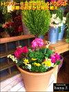 【楽ギフ_包装】【楽ギフ_メッセ入力】【送料無料】ゴールドクレスト・トピアリー仕立ての寄せ植え♪季節の最新イメージ♪おまかせピック付き♪B-タイプ