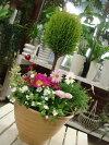 【楽ギフ_包装】【楽ギフ_メッセ入力】【送料無料】ゴールドクレスト・トピアリー仕立てのテラコッタ陶器鉢♪季節の寄せ植え♪タイプ−Aおまかせピック付き♪
