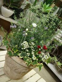 【送料無料】アンティーク風のテラコッタ♪オーストラリアンローズマリーの寄せ植え♪オシャレな玄関作りに♪