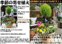 【送料無料】コニファーゴールドクレスト トピアリー(スタンド)仕立てのテラコッタ陶器鉢♪季節の寄せ植え♪