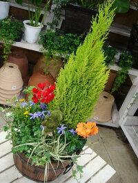 【送料無料】コニファーゴールドクレスト 丸いウッドプランターの季節の寄せ植え♪おまかせピック付き♪