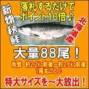 ★落札でポイント10倍★《9月獲れメジカ鮭を大量88尾も》北海道産中塩秋鮭特大サイズ約2.2kg前...