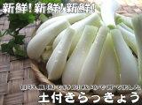 【完売御礼】特別栽培で育てた新鮮な洗いらっきょう1kg らっきょう 新鮮 野菜 鹿児島 九州 お漬物 おおすみファーム