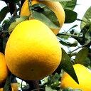 まずはお試し 訳あり ジューシーフルーツ 10kg河内バンカン 和製グレープフルーツとも呼ばれる人気の柑橘!ご家庭用 訳ありになります。送料無料【沖縄・東北・北海道(別途500円)】でお届けします