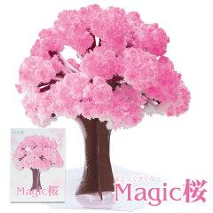 【メール便送料無料】【TVで放送!】自分で咲かせる不思議なマジック桜。さくら プレゼントやお...