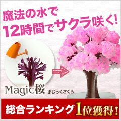 ミニ盆栽 自分で咲かせる不思議なマジック桜。桜 ミニ盆栽 プレゼントやお土産にも/まじっくさ...