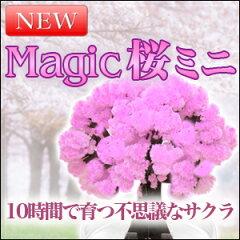 ミニ盆栽 自分で咲かせる不思議なマジック桜ミニ。プレゼントやお土産に/magic sakura/マジック...