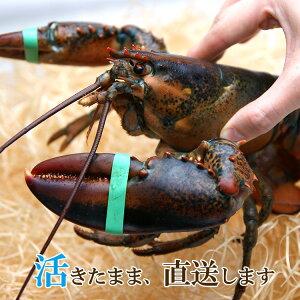 活オマール海老 カナダ産 約450-550g 1尾 フレッシュ!!