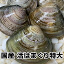 ★国産 活はまぐり★(特大)1.5kg 駿河湾産とれたて直送...