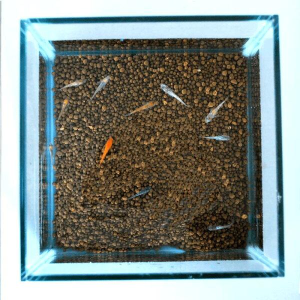 めだか飼育初心者セットメダカ5匹+水槽(2.6L)+ソイル1kg(ブラウン)+めだかの餌50g+すくい網小さい18cm正方形水そ