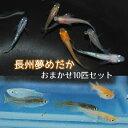 【長州夢めだか】 おまかせ10匹セット 成魚 Mサイズ