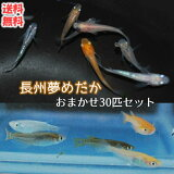 【送料無料】 メダカ 長州夢めだか おまかせ30匹セット 成魚 Mサイズ 生体 ミックス ランダム おまかせ