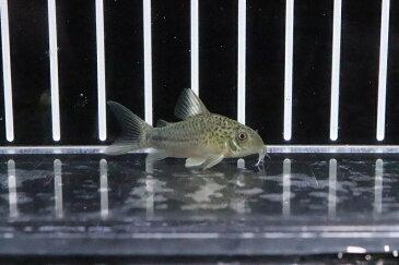 【淡水魚】ハイブリット コリドラス シミジュリ(シミリス×ジュリー)【1匹】20200925