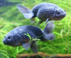 美しい個体がよく栄える!【送料・梱包料無料】【金魚】真っ黒ランチュウ(Aグレード) 10匹