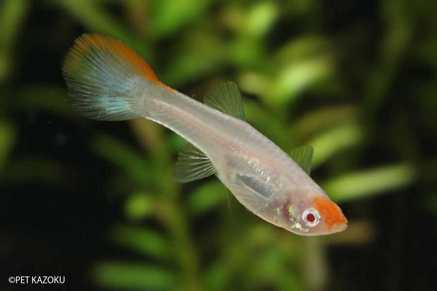 国産グッピー RREA・丹頂 1ペア 観賞魚 魚 グッピー アクアリウム 熱帯魚 ペット