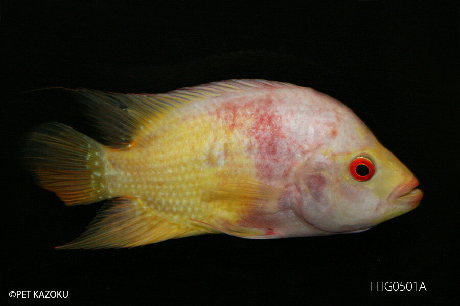 【熱帯魚】フラワーホーン・ゴールドレッド(M) FHG0501A