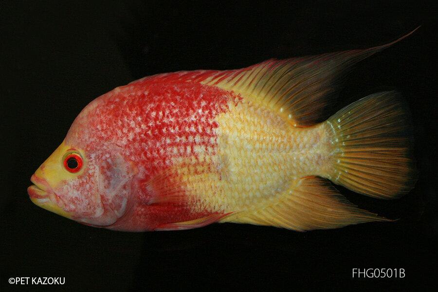 【熱帯魚】フラワーホーン・ゴールドレッド(L) FHG0501B