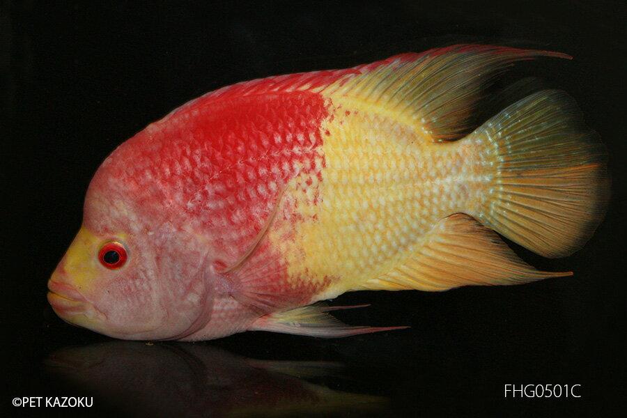 【熱帯魚】フラワーホーン・ゴールドレッド(L) FHG0501C