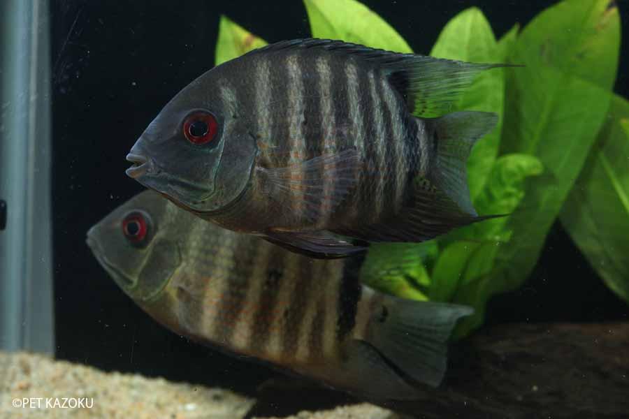 【新入荷】【熱帯魚】へロス・セベラム(コロンビア)(M) 1匹