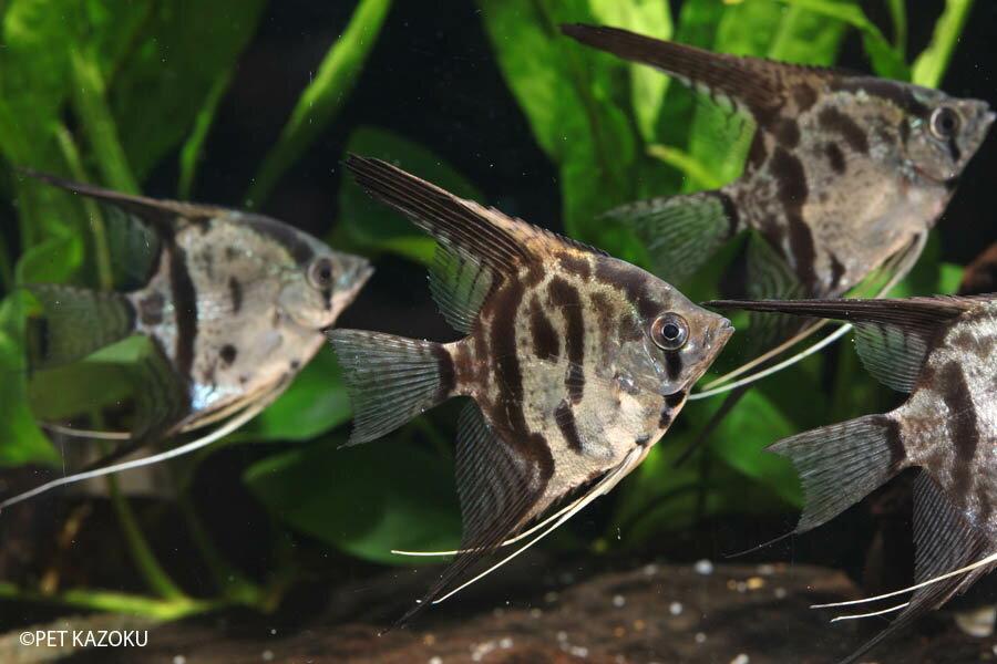 クラウンエンゼル (M) 1匹 観賞魚 魚 アクアリウム 熱帯魚 ペット