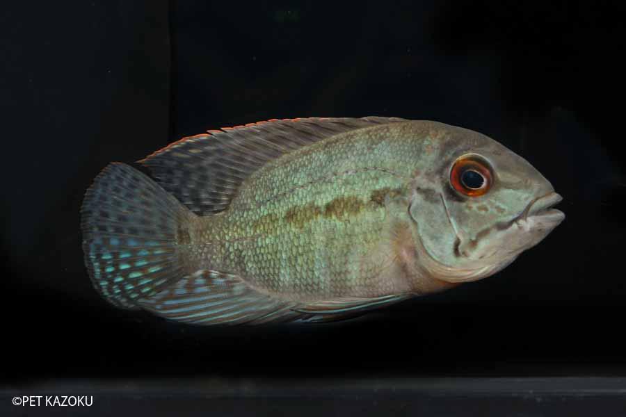 【送料無料】【熱帯魚】パロットシクリッド(ML) 1匹