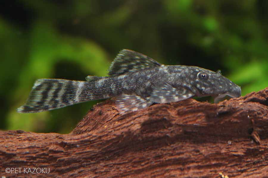 ミニブッシープレコ(ブリード) 1匹  観賞魚 魚 アクアリウム 熱帯魚 ペット