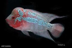【送料無料】【熱帯魚】フラワーホーン・ビッグヘッド FH025