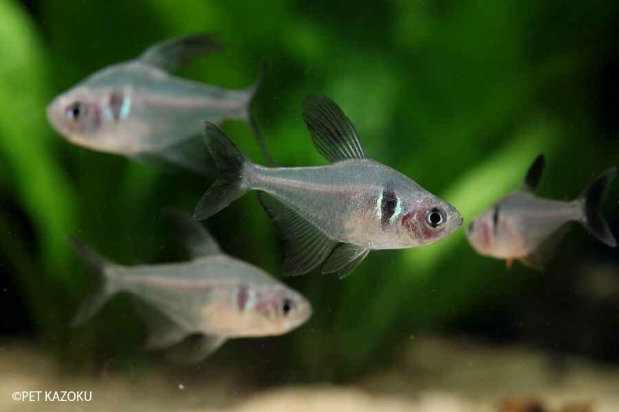 ブラックファントムテトラ 1匹  観賞魚 魚 アクアリウム 熱帯魚 ペット