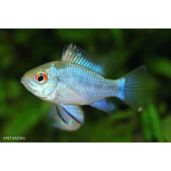 【熱帯魚】 コバルトブルーラミレジー 3匹