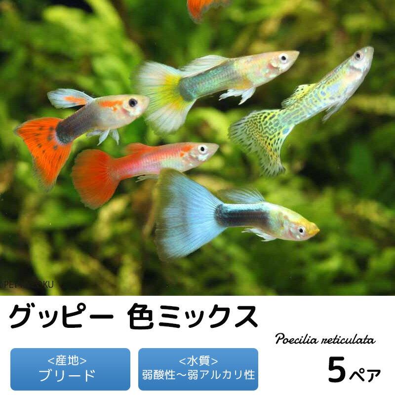 グッピー 色ミックス 5ペア セット 観賞魚 魚 アクアリウム 熱帯魚 ペット スターターフィッシュ 初心者
