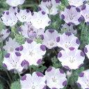 白に紫のドットが涼やか!■タネ■ネモフィラマキュラータ1ml入り