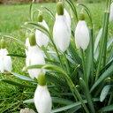 季節の花苗スノードロップ■新鮮花壇苗■スノードロップ 2芽出し苗9cmポット