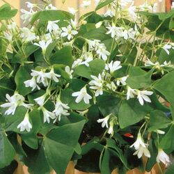 涼やかな印象の品種!オフシーズン■春植え球根■オキザリスレグネリー(白花)10球入り
