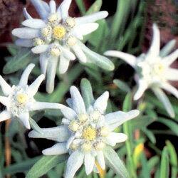 アルプスの名花♪美しい銀白色の色合い!■タネ■エーデルワイス0.1ml