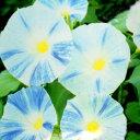 白と青の色合いが涼やかな朝顔!【シーズン限定!】■タネ■アサガオ西洋系 フライングソーサ...