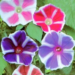 午後まで咲き続ける朝顔!■タネ■アサガオ曜白朝顔混合1ml
