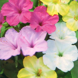 色合い豊かなミックス!おしろい花【シーズン限定!】■タネ■オシロイバナ4ml入り