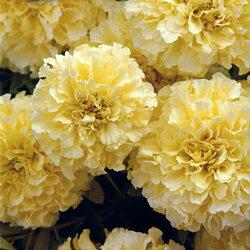 ふっくらとした花!■タネ■アフリカンマリーゴールドF1バニラ30粒