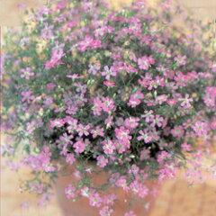 透き通るようなピンクの花!【シーズン限定!】■タネ■カスミソウ ジプシーディープローズ桃...