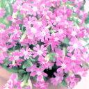 まるでピンクの雲のよう!■タネ■シレネピンククラウド0.5ml