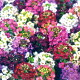 ポップでカラフル花色が魅力!!■タネ■アリッサムイースター...