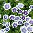 【ご予約商品♪ご予約区分C】■新鮮花壇苗■ネモフィラ ブルーベリーアイズ10.5cmポット苗