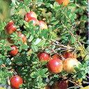 季節の花苗クランベリー■新鮮花壇苗■クランベリー(ツルコケモモ)4号鉢